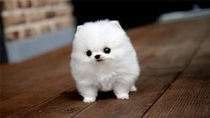 fluffy_white_dog